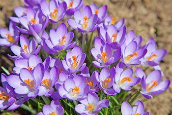 Krokus in voorjaar